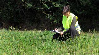 Dans la commune de Viriat (Ain), une employée des services techniques relève la présence d'ambroisie, le 26 août 2013. (  MAXPPP.)