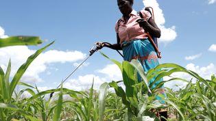 Une agricultrice verse du pesticide sur son champ de maïs dans le district deChikwawa (est du Malawi) le 19 mars 2019. Le Malawi est un pays essentiellement agricole. (REUTERS - ELDSON CHAGARA / X01723)