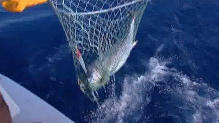 Près d'un millier de marins en France pêchent le  thon rouge.