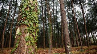 Une fôret de pins à Seignosse, dans les Landes (illustration). (VINCENT ISORE / MAXPPP)