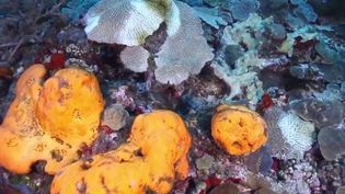 Environnement : en Martinique, des coraux attaqués par une bactérie mortelle (France 3)