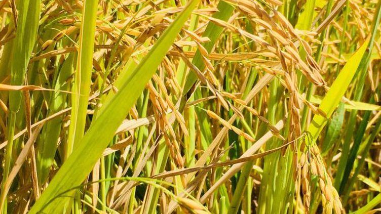 Un riz local de qualité est désormais produit en Nouvelle-Calédonie. La relance de la filière s'est faite en 5 ans d'études et d'expérimentations (NC La 1ere / Cédrick Wakahugnème)