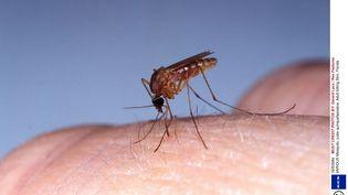 Un moustique culex en Floride (photo non datée). (GERARD LACZ / REX FEATU/REX/SIPA / REX)