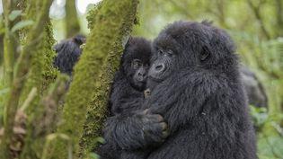 Des gorilles dans une fôret rwandaise. (FABRICE GUERIN / BIOSPHOTO)