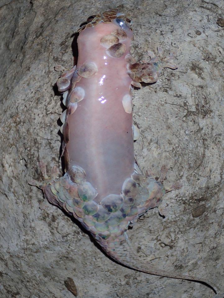 Voilà à quoi ressemble le Geckolepis megalepis après avoir perdu ses écailles. (FRANK GLAW / AFP)