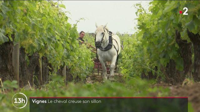 Agriculture : le cheval de trait creuse son sillon dans les vignes