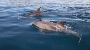 Dauphins visibles depuis l'île de Jersey. (J. THERESE)