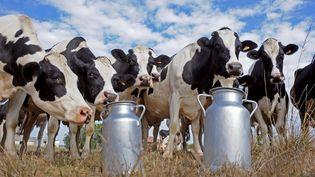 Peut-être des filles de Jocko Besne ? Le taureau reproducteur, mort le 13 mars 2012, aurait eu plus de 300 000 enfants femelles de la race laitière Prim'Holstein. (JEAN-PIERRE MULLER / AFP)