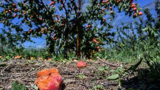 Une plantation d'abricots ravagée par la grêle à La Roche-de-Glun (Drôme), le 16 juin 2019. (PHILIPPE DESMAZES / AFP)