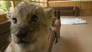 Un des lionceaux du zoo deFuji Safari Park. ( FRANCETV INFO)