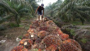 Un ouvrier entasse des grappes de fruits de palmiers à huile, le 16 septembre 2015 en Indonésie. (ADEK BERRY / AFP)