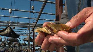 Hérault : des huîtres colorées uniques à Bouzigues (France 3)