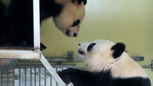 Huan Huan etHuan Zi au zoo de Beauval, le 20 mars 2021. (GUILLAUME SOUVANT / AFP)