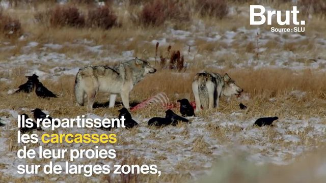 brut : 3 raisons loup