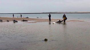 Une vingtaine de dauphins ont échouésur les plages des Portes-en-Ré et d'Ars en Ré.Des bénévoles se sont portés à leur secours pour les remettre à l'eau. (France 3)