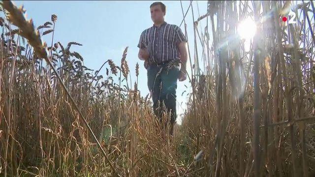 La hausse du prix du blé se poursuit. Conséquence, les récoltes s'annoncent en baisse, malgré une flambée qui aurait pu profiter aux céréaliers. Hélas, la météo des derniers mois anéantit tout espoir.
