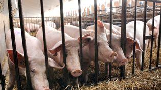 Des cochons dans leur élevage à Wambrechies près de Lille, le 28 juillet 2010. (DENIS CHARLET / AFP)