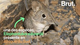 VIDEO. Il fait la taille d'un rat et est génétiquement...un cousin de l'éléphant (BRUT)