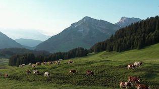 Sur le plateau de Beauregard, en Haute-Savoie, la tradition de la transhumance, la montée vers les alpages, est perpétuée chaque année. (CAPTURE ECRAN FRANCE 2)