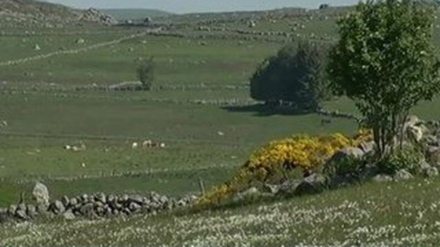 Les narcisses fleurissent sur le plateau de l'Aubrac