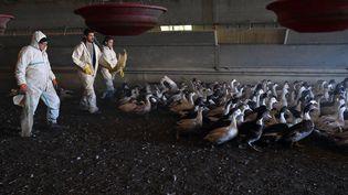 Des canards sont menés hors d'un hanger en vue de leur abattage, le 6 janvier 2017, à Belloc-Saint-Clamens (Gers). (REMY GABALDA / AFP)