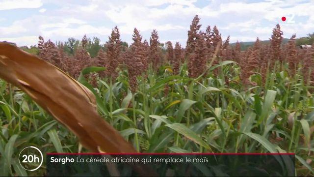 Agriculture : le sorgho, la céréale africaine qui remplace le maïs