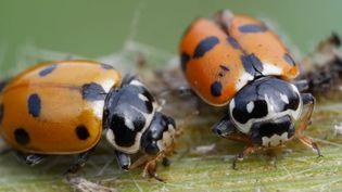La plupart des ravageurs des cultures possèdent un cortège d'ennemis naturels qui contribuent à limiter leur pullulation.Les pesticides auraient fait disparaître 70% des insectes, notamment les coccinelles qui mangent les pucerons. (CHRISTIAN WATIER / MAXPPP)