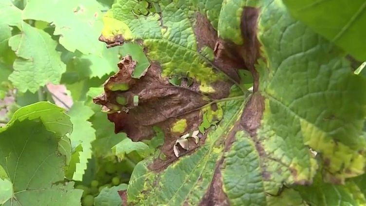 Agriculture : le mildiou frappe de plein fouet les récoltes (France 3)