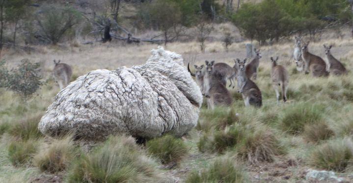 Un mouton particulièrement laineux fait face à des kangourous près de Canberra (Australie), sur une image fournie le 2 septembre 2015 par l'association RSPCA. (RSPCA / AFP)