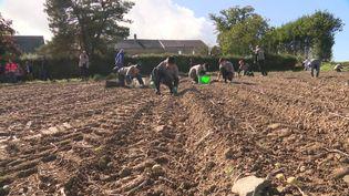 Les élèves du lycée agricole de Vire ramassent des pommes de terres pour la bonne cause. (France 3 Normandie)