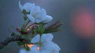 Face au gel qui menace leurs cultures, les arboriculteurs font leur maximum pour protéger leurs fruits. C'est le cas à Bessanay (Rhône), où Alain Coquard a veillé toute la nuit et tenté de réchauffer l'atmosphère. (France 2)