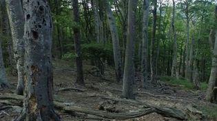 Pyrénées-Orientales : à la découverte de la forêt de la Massane, où la nature a repris ses droits (Capture d'écran franceinfo)