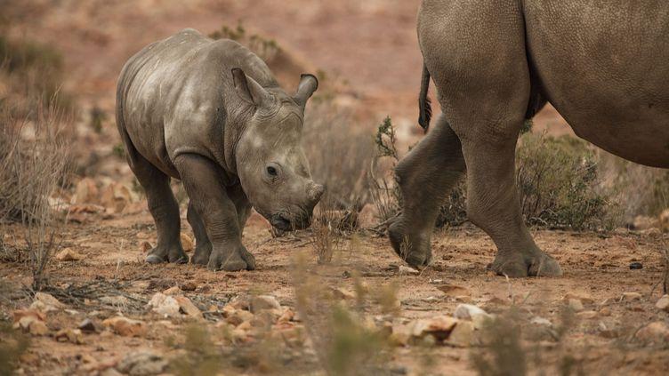 Rhinocéros dans une réserve d'Afrique du Sud  (FRISCO / IMAGE SOURCE)
