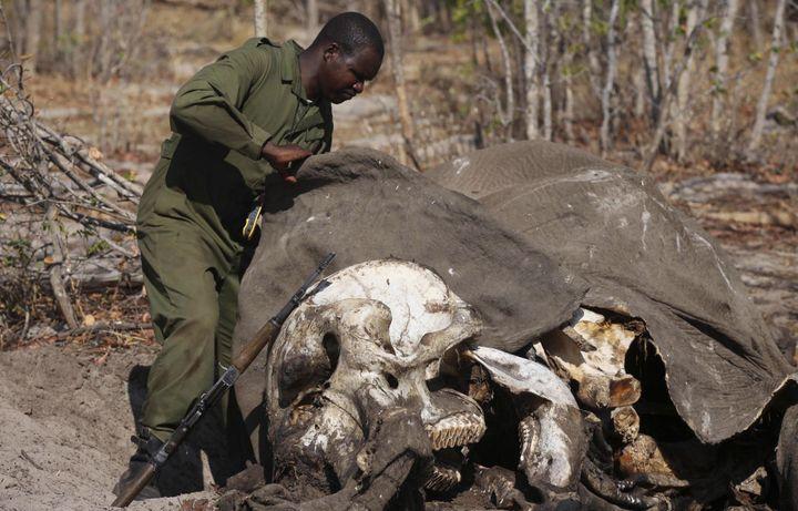 Le 28 octobre 2013. Une dépouille d'un éléphant empoisonné dans le parc national de Hwange au Zimbabwe. (REUTERS/Philimon Bulawayo (ZIMBABWE )