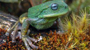 Une nouvelle espèce de grenouille marsupiale a été découverte dans un parc naturel de l'Amazonie péruvienne, a rapportéle 12 avril 2021 le Service national des zones naturelles protégées. (HANDOUT / SERNANP / AFP)