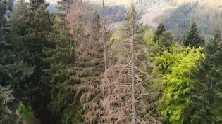 La sécheresse entame lentement nos forêts. Les arbres jaunissent et toute l'Europe est concernée. Comment sauver nos poumons verts ? Reportage en Belgique. (CAPTURE ECRAN FRANCE 2)
