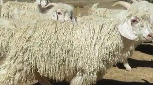 De grandes enseignes telles que Gap, Zara ou H&M ont renoncé à utiliser la laine de mohair dans leurs vêtements à cause d'une vidéo dénonçant les mauvais traitements d'animaux. (France 2)