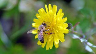 Un insecte volant butine une fleur. (CHRISTOPHE BARREAU / MAXPPP)