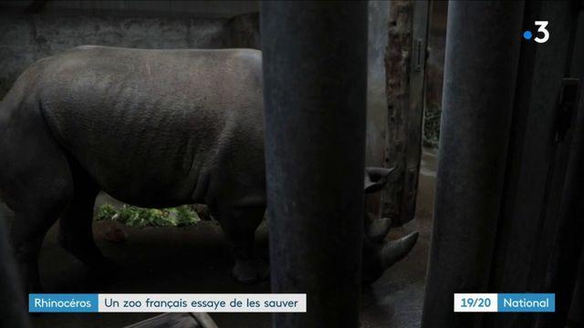 Environnement : un zoo français tente de sauver les rhinocéros