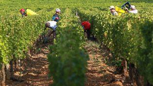 Des vendanges dans le vignoble bordelais (Gironde) en septembre 2012. (MAXPPP)
