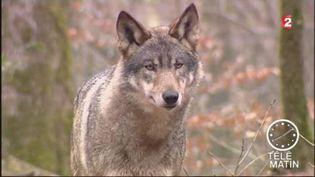 Le loup gris fait partie des espèces menacées en France. (FRANCE 2)