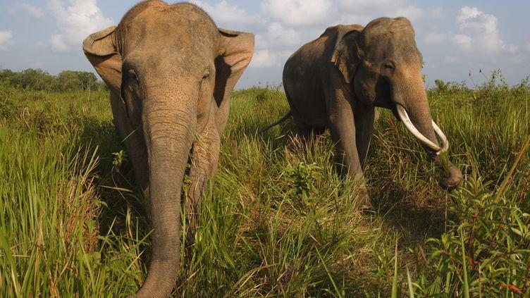Le parc national de Kambas, sur l'île deSumatra (Indonésie), en août 2014. (CYRIL RUOSO / MINDEN PICTURES / AFP)