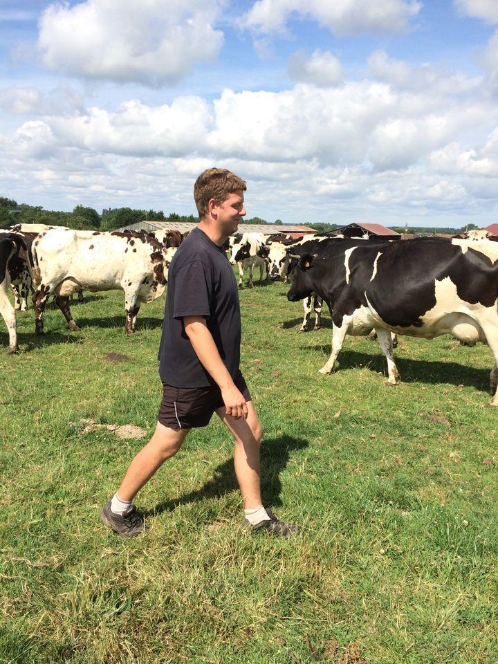 Florent Verger conduit les vaches à la prairie, à Monteille (Calvados), le 23 juillet 2015. (MARIE-VIOLETTE BERNARD / FRANCETV INFO)