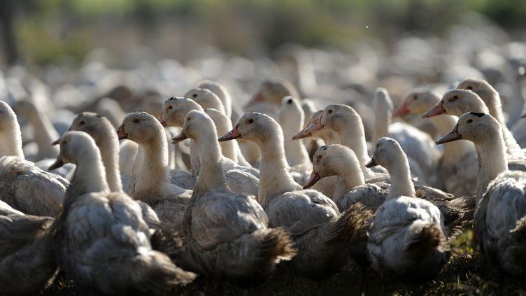 Un élevage de canards, dans les Landes, décembre 2015. (IROZ GAIZKA / AFP)