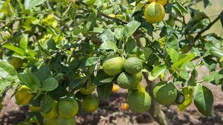 Des citrons atteints de la maladie du dragon jaune, le 9 avril 2018 dans les locaux du CIRAD (Centre de coopération internationale en recherche agronomique pour le développement) de Petit-Bourg, en Guadeloupe. (HELENE VALENZUELA / AFP)