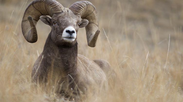Un mouflon photographié dans le Montana, aux Etats-Unis. (DONALD M. JONES / AFP)
