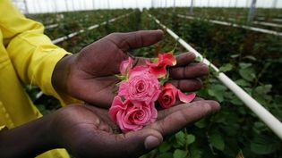 Un ouvrier agricole tient des roses dans ses mains, le 31 octobre 2003, dans un plantation près dulac Naivasha au Kenya. (MARCO LONGARI / AFP)