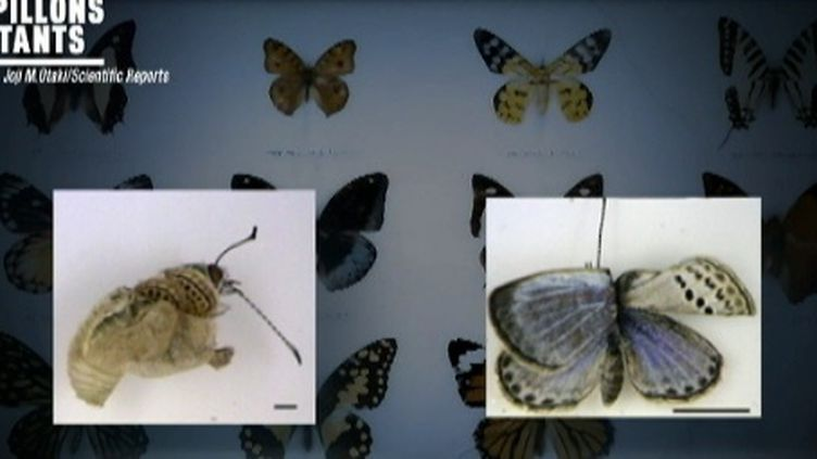 Effets de la radioactivité sur les papillons (FTV)