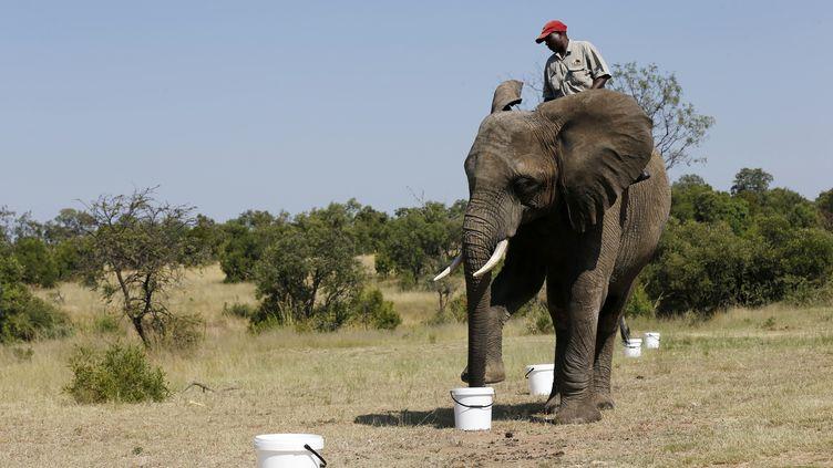 Un éléphant lors d'une démonstration de détection d'engin explosif, le 20 février 2015 à Johannesburg (Afrique du Sud). (SIPHIWE SIBEKO / REUTERS)