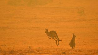 Un kangourou au milieu d'un feu de brousse dans la Snowy Valley, à la périphérie de Cooma (Nouvelle-Galles du Sud, Australie), le 4 janvier 2020. (SAEED KHAN / AFP)